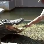 ワニをからかっていた男性、予想通り噛まれる/Man teases Alligator pays the consequences