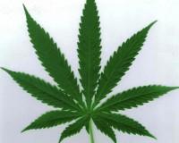 ウルグアイ、マリファナ合法化案を下院で可決/Uruguay Set To Become FIRST Country In The World To Legalize Marijuana